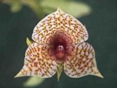 fiore Telipogon