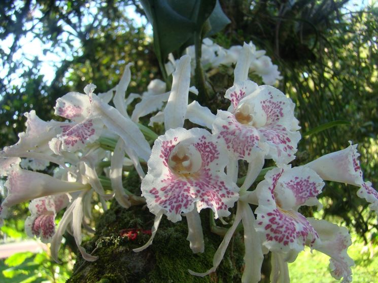 Fiore Trichopilia