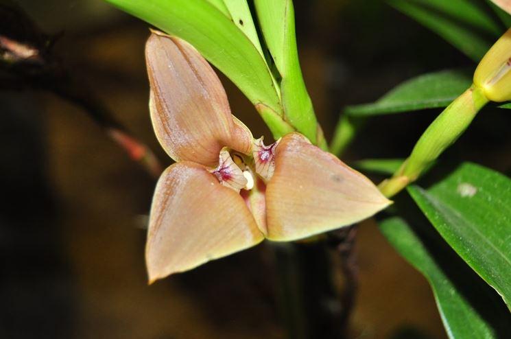 orchidea trigonidium