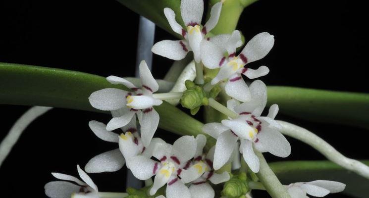 pianta Tuberolabium
