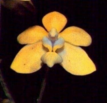 Fiore orchidea vanda