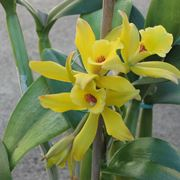 vaniglia pianta