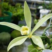 pianta di vaniglia