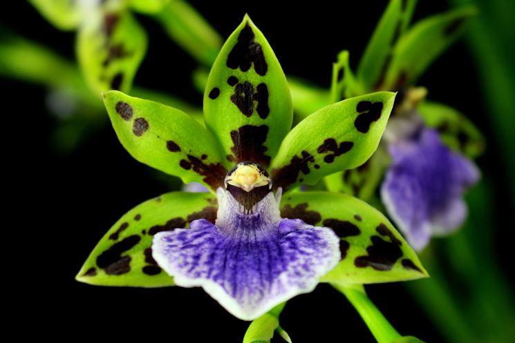 pianta zygopetalum