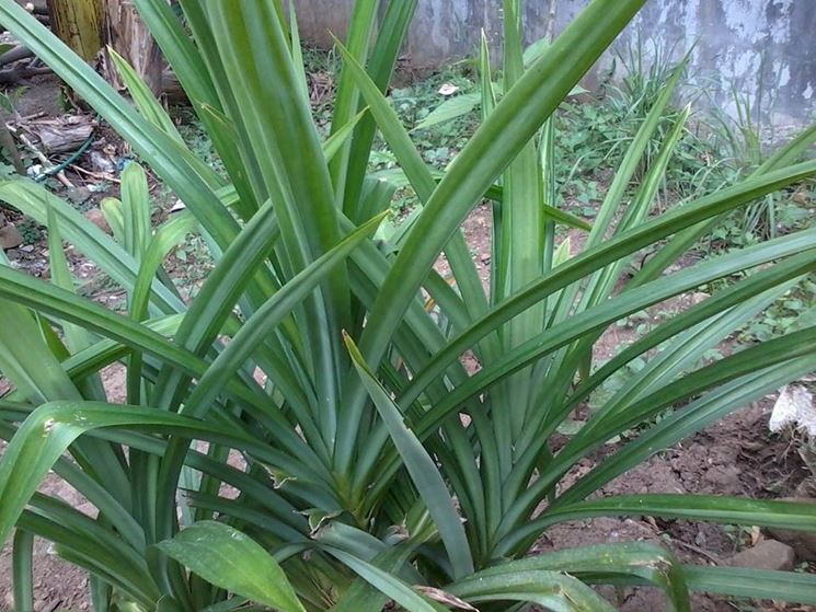 pianta pandano