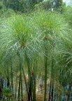 "Cyperus papyrus"""