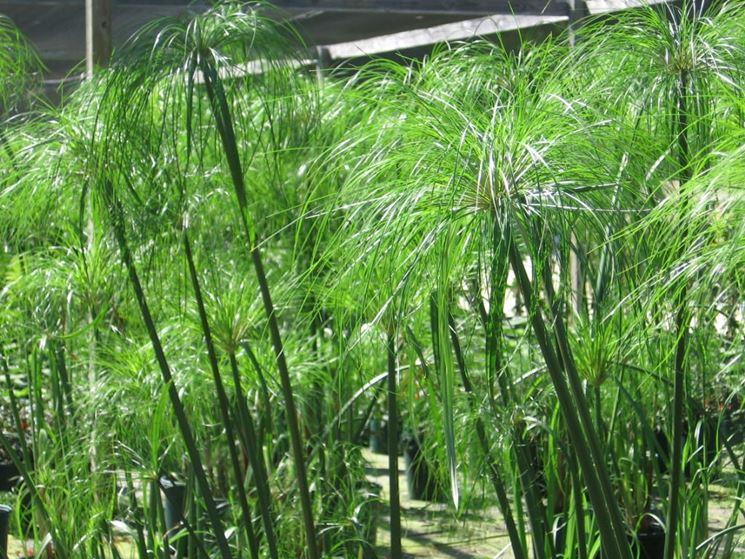 papiro cyperus papyrus piante da interno papiro. Black Bedroom Furniture Sets. Home Design Ideas