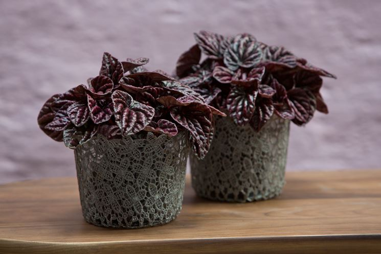 Peperomia in vaso