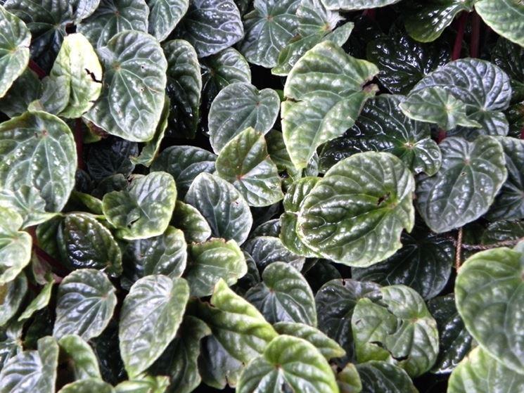 foglie peperomia caperata