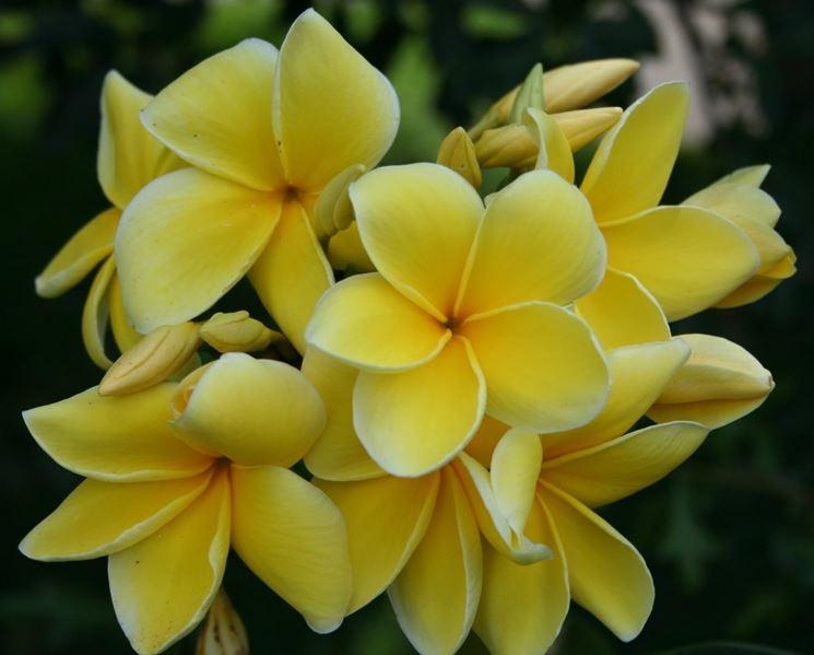 Frangipane  fiori