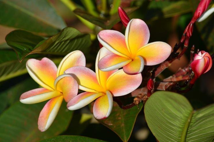 pianta plumeria rubra