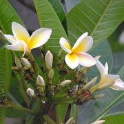 pomelia pianta