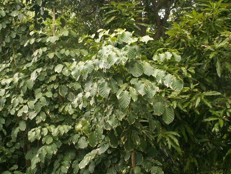 pianta polyscias