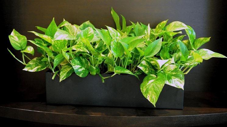 piante potos