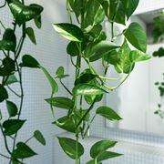 pothos pianta