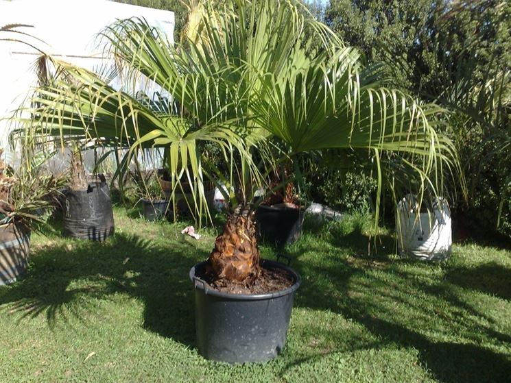 palma in giardino