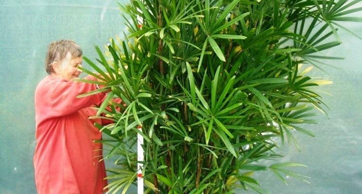 coltivazione rhapis