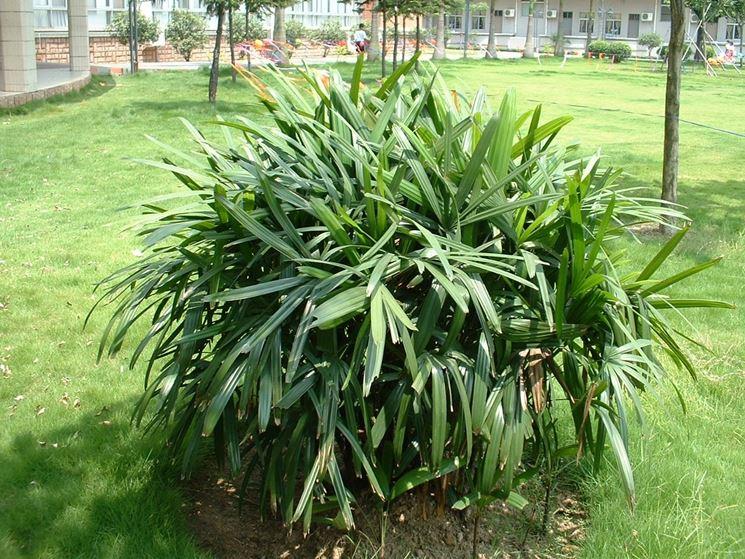 rhapis pianta