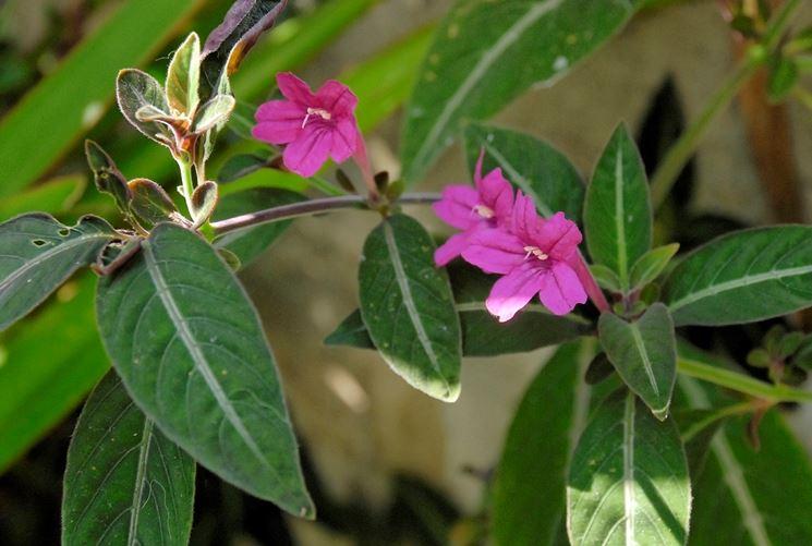 fiori ruellia