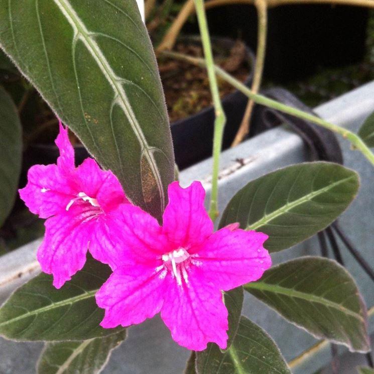 fiori ruellia makoyana