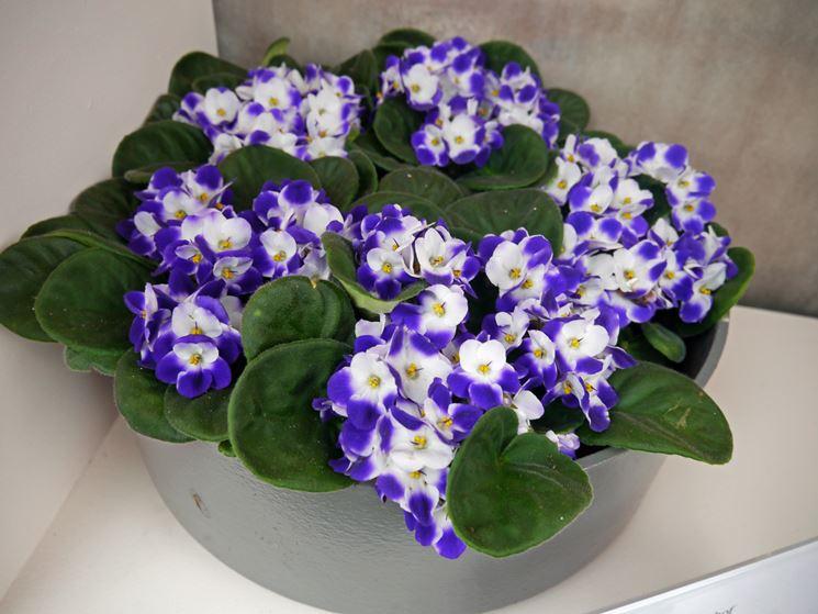 Saintpaulia bicolor