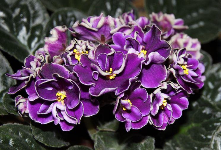 fiori saintpaulia