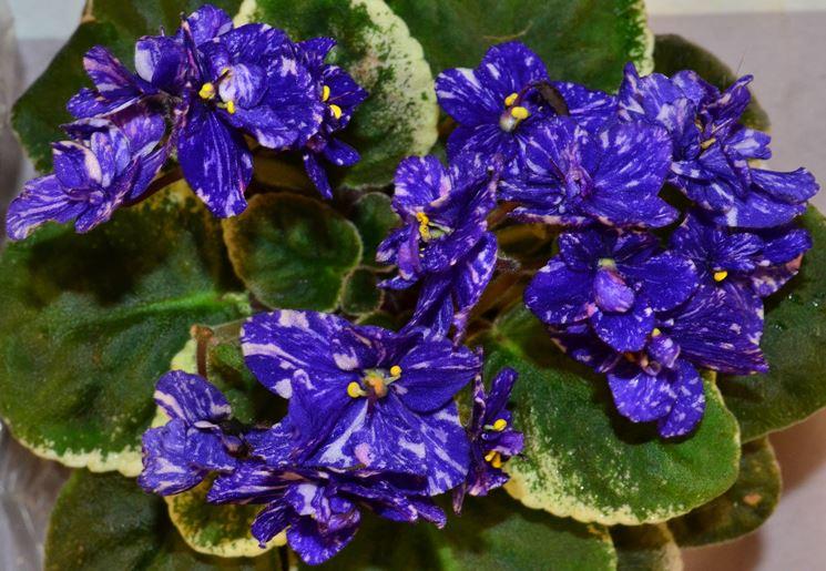 fiori violetta