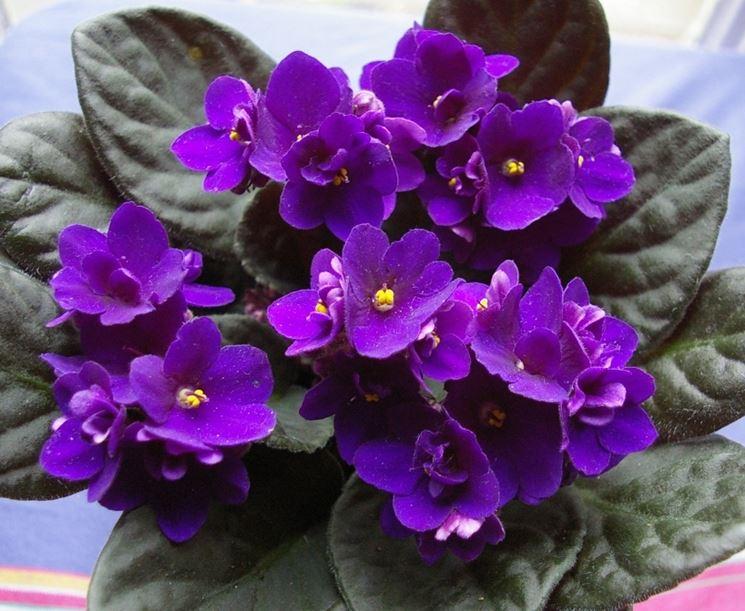 Violetta africana saintpaulia saintpaulia piante da for Violetta africana