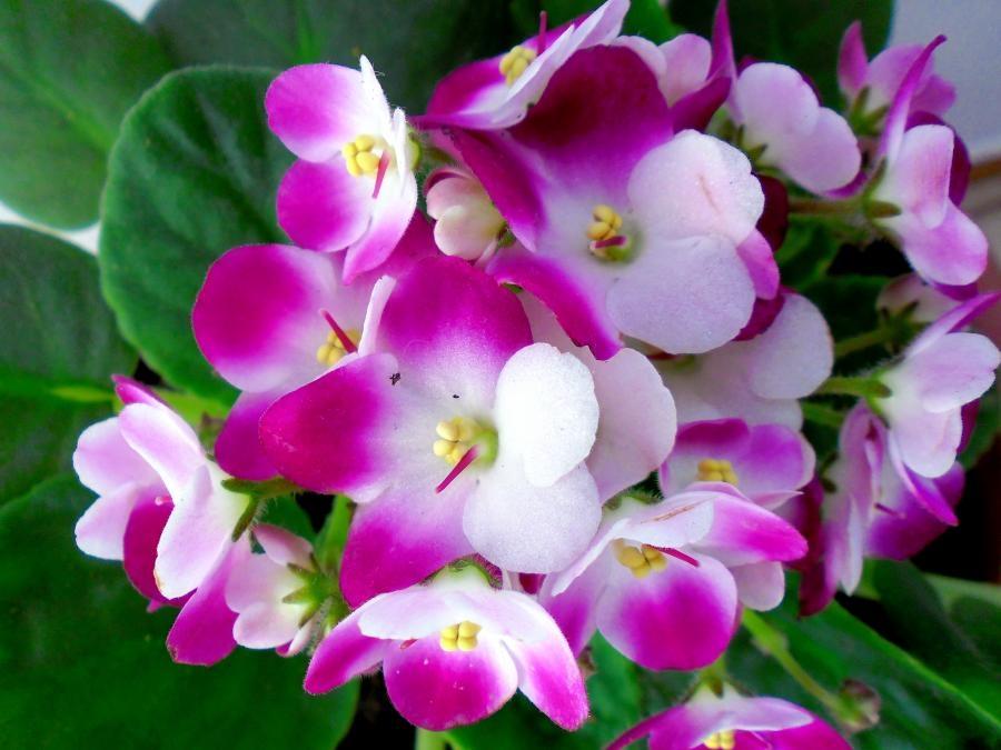 Violetta piante annuali violetta pianta for Violette africane