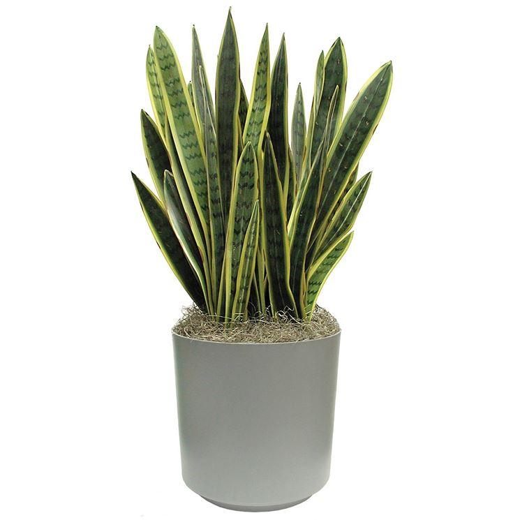 vaso di sansevieria