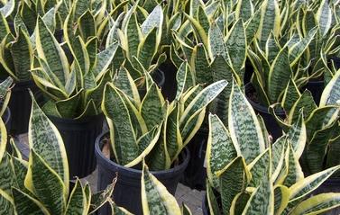 Sanseveria  -  Sansevieria trifasciata