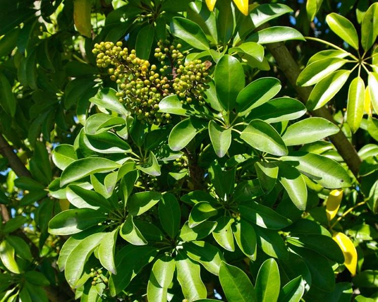 Schefflera - Schefflera actinophylla - Piante da interno ...