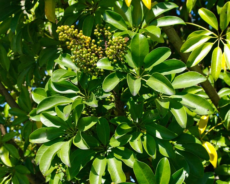 Schefflera - Schefflera actinophylla - Piante da interno - Schefflera actinop...