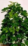 """Schefflera actinophylla"""""""