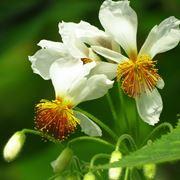 fiori Sparmannia