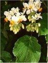 """Sparmannia africana"""""""