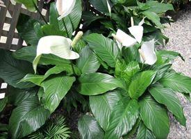 Spatifillo  -  Spathiphyllum