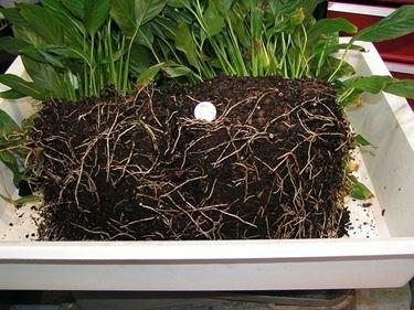 Terreno spathiphyllum