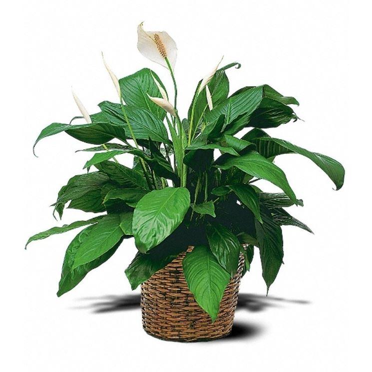 Spatifillo spathiphyllum spathiphyllum piante da for Piante secche ornamentali