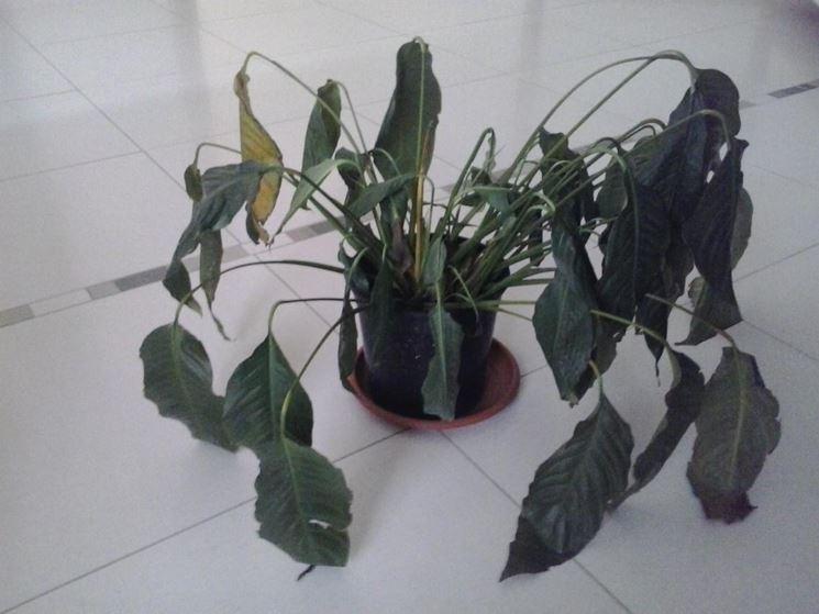 Parassiti e malattie spathiphyllum