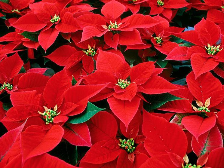 Come Fare La Stella Di Natale.Stella Di Natale Piante Da Interno Coltivazione Stella Di Natale