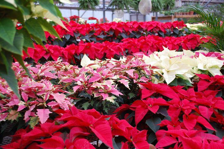 Come Mantenere Stella Di Natale.Stella Di Natale Piante Da Interno Coltivazione Stella Di Natale