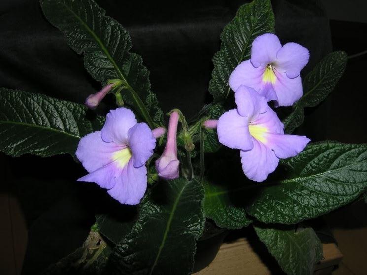 streptocarpus pianta