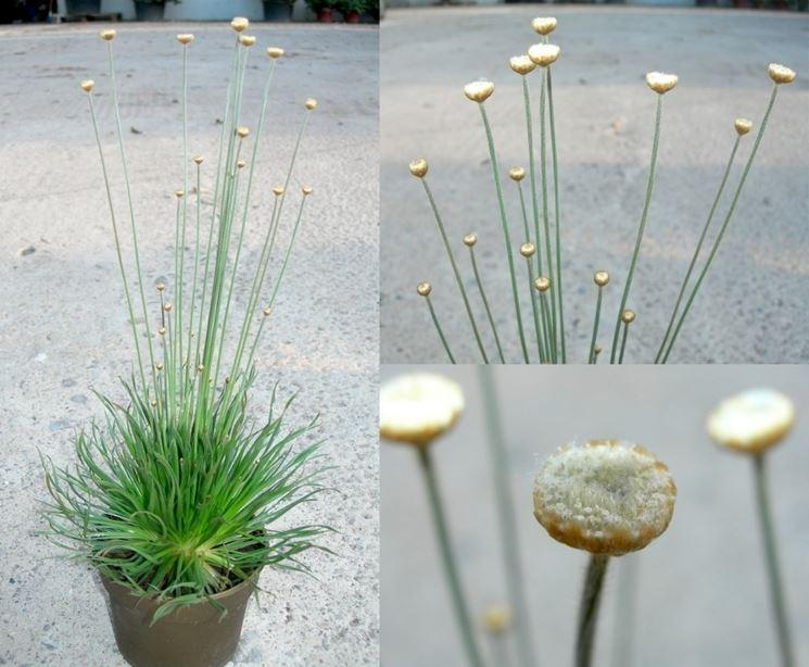 Syngonanthus chrysanthus