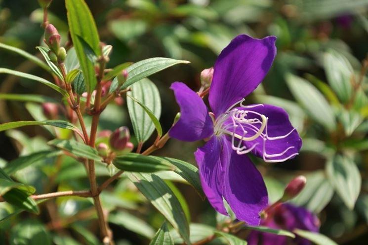 Tibucina  fiore