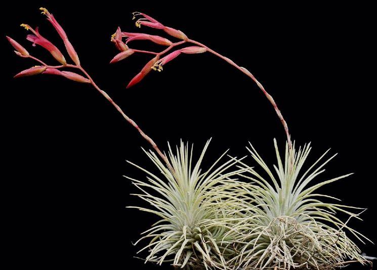 pianta <em>tillandsia</em> argentea