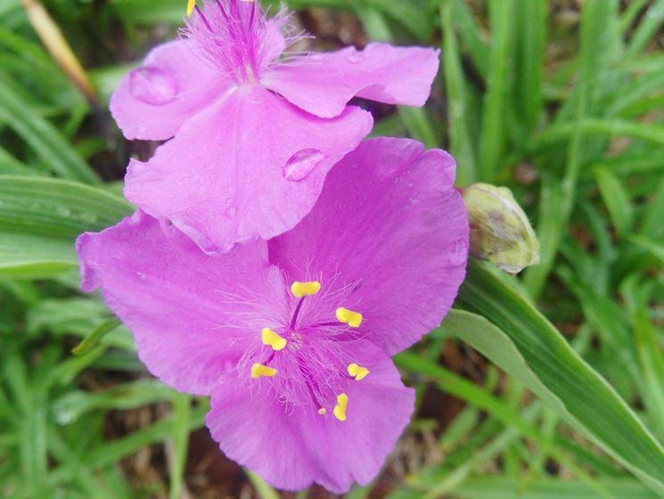 fiori erba miseria