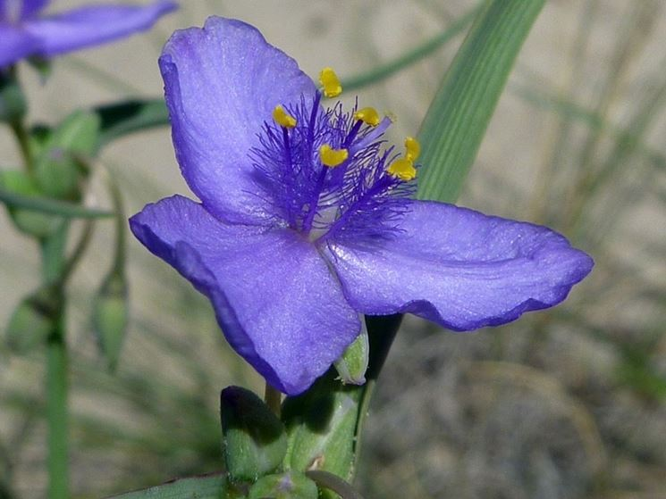 fiore tradescanzia