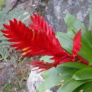 Vriesia fiore