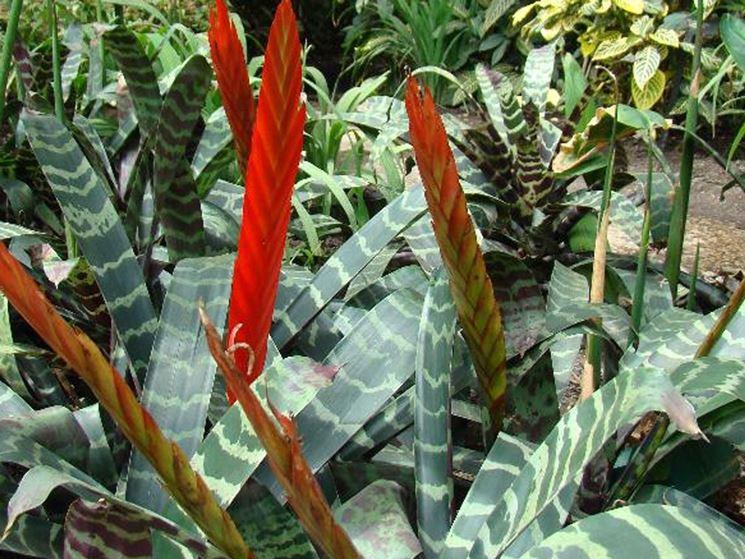 piante Vriesia splendens